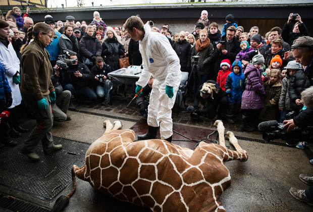 Публичное вскрытие трупа жирафа в копенгагенском зоопарке Фото: Kasper Palsnov / Scanpix / Reuters