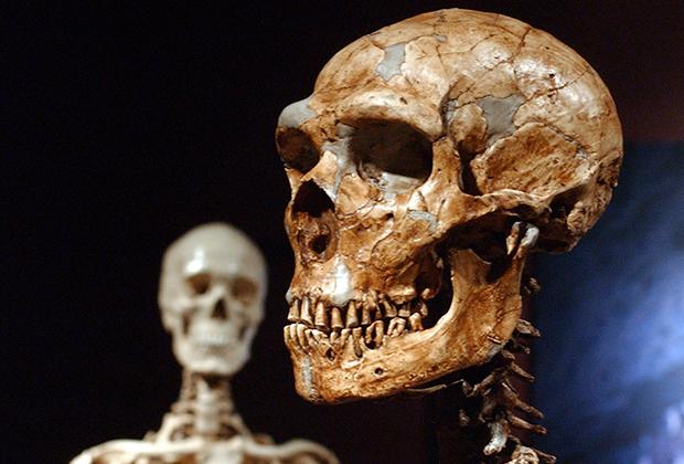 Реконструированный скелет неандертальца (справа)