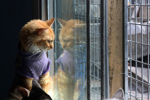 In this Aug. 6, 2014 photo, a cat looks through the window at a Cat Hospice run by Maria Torero, who cares for 175 cats with leukemia at her home in Lima, Peru. Because of their illness, many of the animals have lost weight and are anemic. Torero feeds them, gives them medicine, sterilizes them, and treats them for parasites every two months. (AP Photo/Martin Mejia)