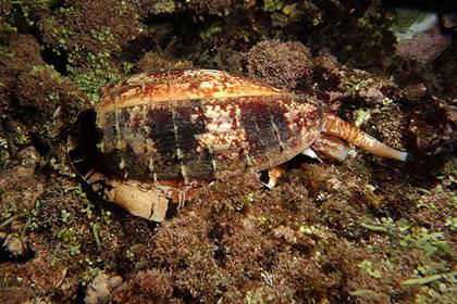 Самые ядовитые улитки в мире научились охотиться на рыб с помощью инсулина