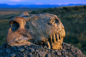 21 Mar 1996, South Africa --- Fossil skull of Dinogorgon Rubidgei, sitting on a gravel pile overlooking the Nardou Mountains to the east, was collected by Peggy Rubidge and Frank Collins in July, 1934 on Wellwood Farm and featured in National Geographic Magazine. This fossil is one of many Therapsida which did not survive the Permian extinction, one of the most disastrous extinctions known. | Location: Near Graaff-Reinet, South Africa. --- Image by © Jonathan Blair/Corbis