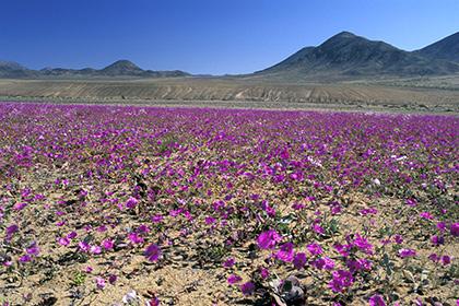 Самая сухая пустыня на планете зацвела
