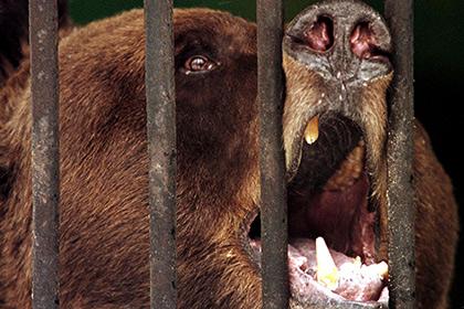 В Ленинградской области медведь отгрыз голову беглецу из психбольницы.