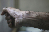 The forearm of a public health technician is seen covered with sterile female Aedes aegypti mosquitoes after leaving a recipient to cultivate larvae, in a research area to prevent the spread of Zika virus and other mosquito-borne diseases, at the entomology department of the Ministry of Public Health, in Guatemala City, January 26, 2016. REUTERS/Josue Decavele      TPX IMAGES OF THE DAY - RTX2450N