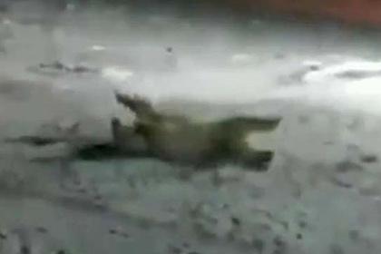 СМИ сообщили опрекращении дела оподрыве белого медведя наострове Врангеля