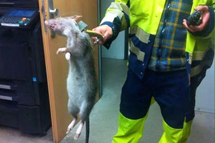 Гигантская крыса из Лондона