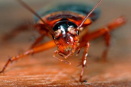 Человеческие уши признали идеальным домом для тараканов