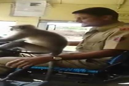 Индиец пустил за руль автобуса обезьяну и пожалел