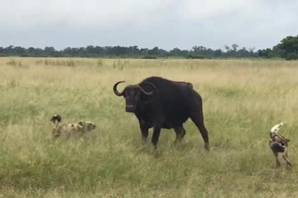 Хищники растерзали пять буйволят на глазах у их родителей