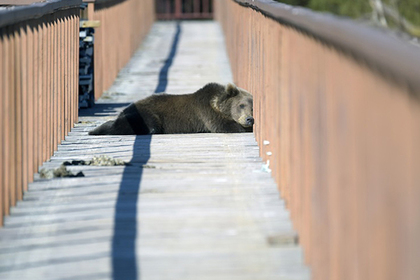 В Красноярье обезвредили три десятка угрожавших людям медведей