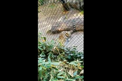 Посетитель зоопарка обронил очки в вольер с тигром и полез их доставать