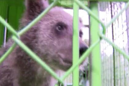 Медвежонок-сирота из Арктики адаптировался к жизни и был отпущен в лес