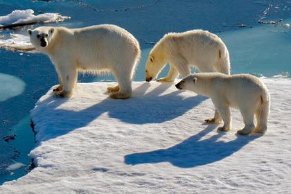 Белые медведи окружили чукотский поселок