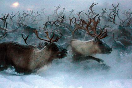 На Кольском полуострове будут проводить фестивали арктической кухни