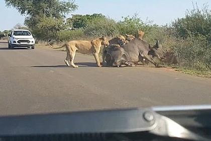 Львы растерзали буйвола на проезжей части перед пораженными водителями