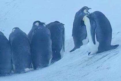 Журналисты несколько дней наблюдали гибель пингвинят, не выдержали и вмешались