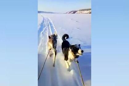 Россияне привязали собак к «Бурану» и сняли издевательства на видео