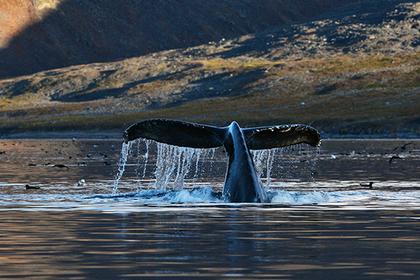 Серые киты предпочли «сытую жизнь» на Чукотке теплым берегам Калифорнии