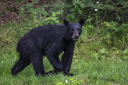 Домашний медведь задрал своего смотрителя