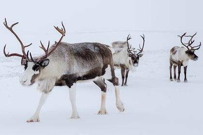 Северным оленям наденут спутниковые ошейники нового образца
