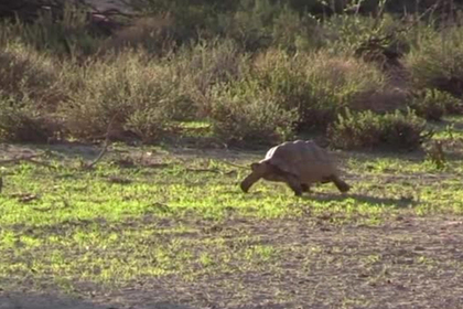 Хитрая черепаха озадачила двух львов и выжила