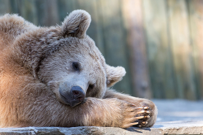 Российские чиновники решили до весны охранять заснувшего в городе медведя