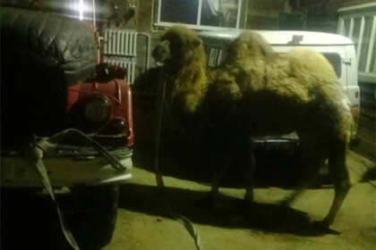 Цирковой верблюд Славик потерял друга, восемь часов боролся за жизнь и выжил