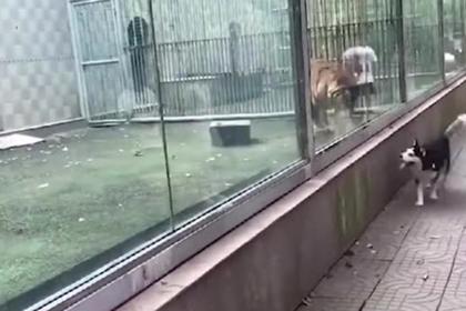 Тигр и хаски устроили догонялки через стекло