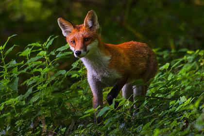 Спасение умирающей лисы стоило британцу заработка