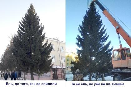Чиновник спилил елку для главной площади города на соседней улице
