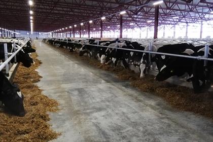 Новая крупная молочная ферма появилась в Подмосковье