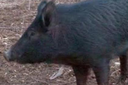 Свинью размером с медведя заметили на прогулке