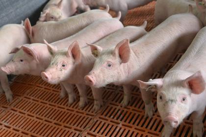 Мэр Сочи решил привлечь свиней к борьбе с грязью photo
