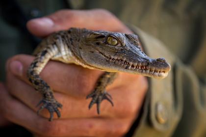 Россиянин с 30 крокодилами попался таможне