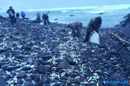Российский берег завалило селедкой