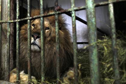 Лев растерзал сотрудницу зоопарка