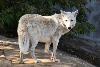 В Челябинске волк напал на ребенка