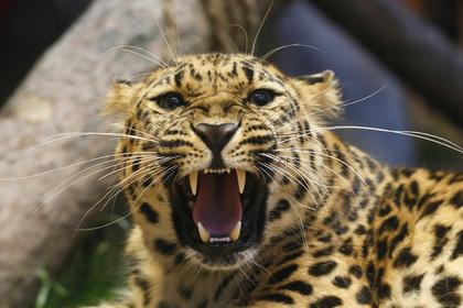 Леопард-убийца пойман после нападений на детей