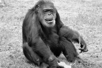 Умер самый старый шимпанзе Японии