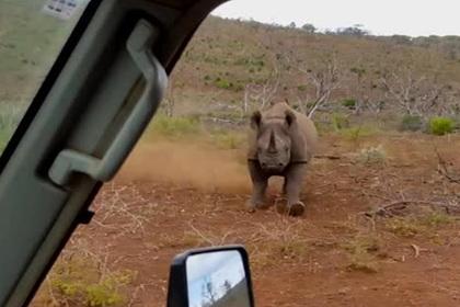 Носорог протаранил автомобиль и попал на видео