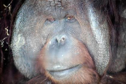 Орангутан откусил палец работницы зоопарка