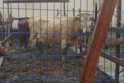 В Дагестане непутевые коровы пришли пастись в аэропорт