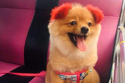 Собака пережила покраску шерсти в розовый цвет и лишилась уха