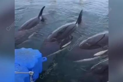 СКР показал пленников китовой тюрьмы в Приморье