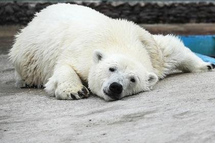 Заявившихся к россиянам белых медведей решили депортировать