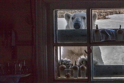 В России произошло нашествие белых медведей: репортаж из Instagram