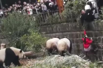 Девочка упала в вольер с пандами и выжила