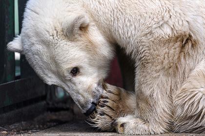 Зоозащитники предупредили об ухудшении ситуации с нашествием белых медведей