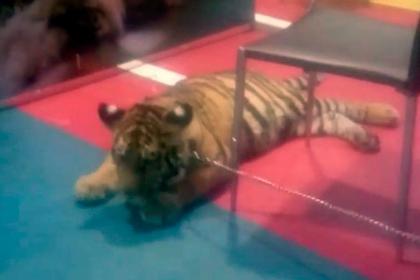 Издевательства над тигренком в контактном зоопарке сняли на видео