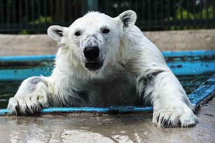 На Севере России нашествие белых медведей. Как от них спастись и стоит ли паниковать?